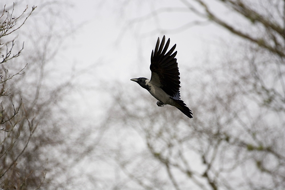 Hooded Crow (Corvus corone corone) flying to through trees. Argyll, Scotland, UK - 995-536