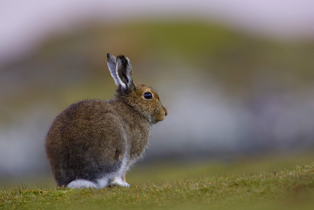 Irish Hare (Lepus timidus, sub species hibernicus) grazing on a coastal grassy knoll. Argyll and the Islands, Scotland, UK