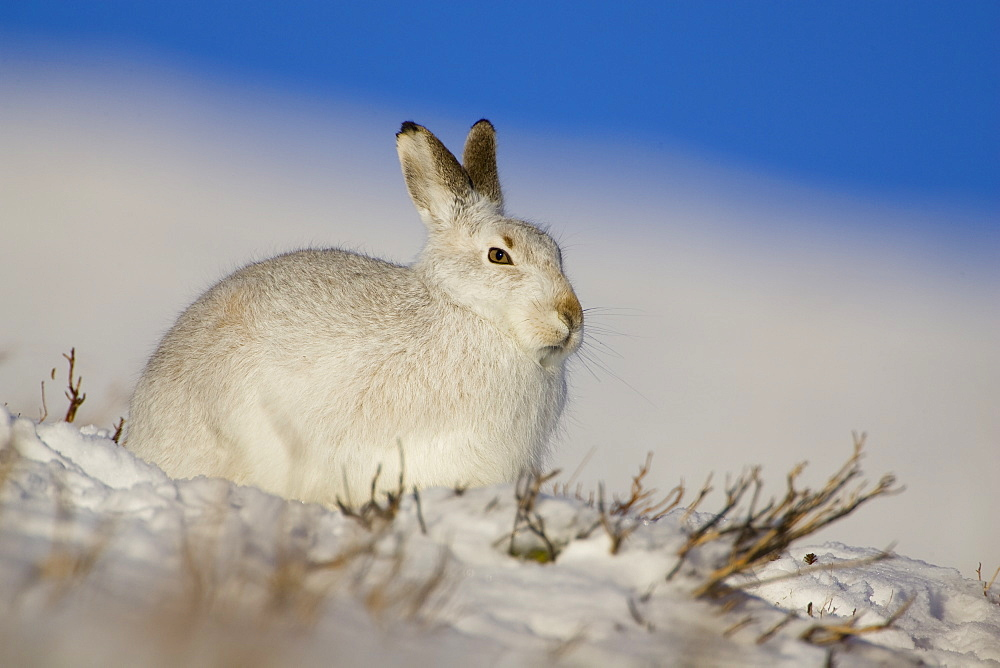 Mountain Hare (Lepus timidus) lying in snow with heather poking through snow. Hare has ear up listening. highlands, Scotland, UK
