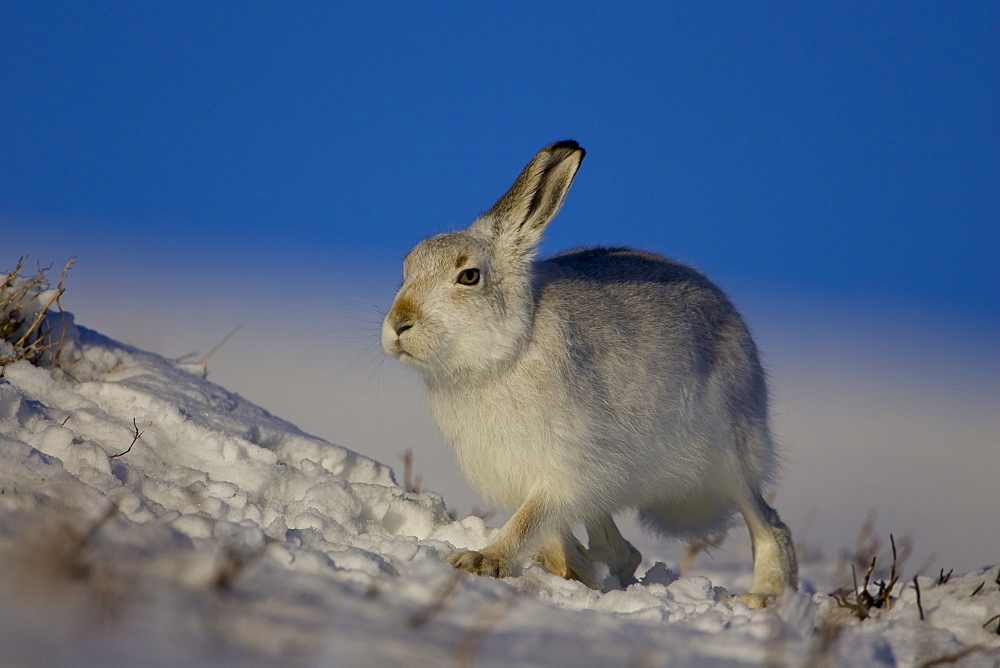 Mountain Hare (Lepus timidus) walking in the snow with heather poking through. highlands, Scotland, UK