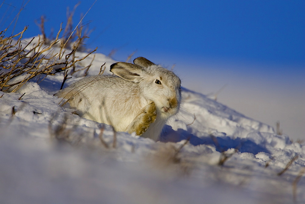 Mountain Hare (Lepus timidus) scratching ear and cleaning itself while lying in snow with heather poking through snow. highlands, Scotland, UK