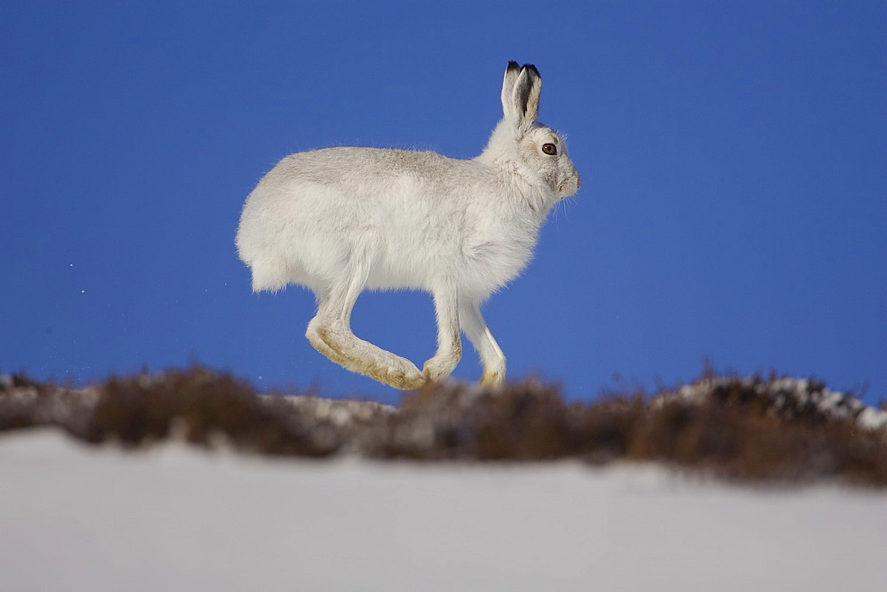 Mountain Hare (Lepus timidus) running in snow with heather poking through snow. highlands, Scotland, UK