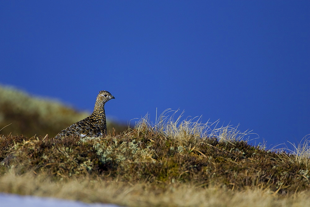 Ptarmigan (Lagopus mutus) female sitting hidden in long grass, in summer and winter plumage, blue sky in background. Highlands, Scotland, UK - 995-567