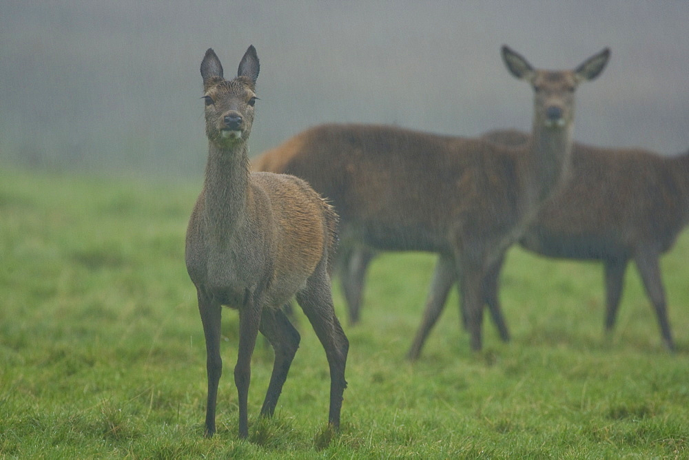 Red Deer (Cervus elaphus) group of hinds standing in rain, lead female has ears back. Isle of Mull, Argyll, Scotland, UK - 995-582