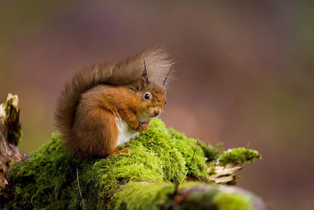Red Squirrel (Sciurus vulgaris) sitting on mossy branch. Loch Awe, nr Oban, Scotland, UK