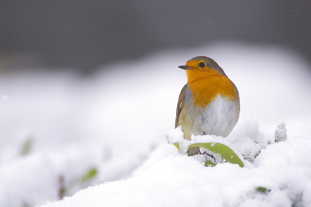Robin (Erithacus rubecula) perched on a leaf covered in snow. highlands, Scotland, UK - 995-605