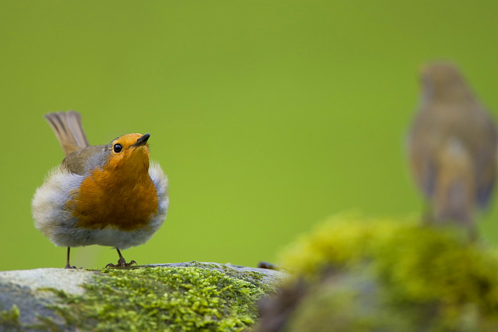 Robin (Erithacus rubecula) displaying with rival on a mossy wall. Loch Awe, nr Oban, Scotland, UK - 995-606