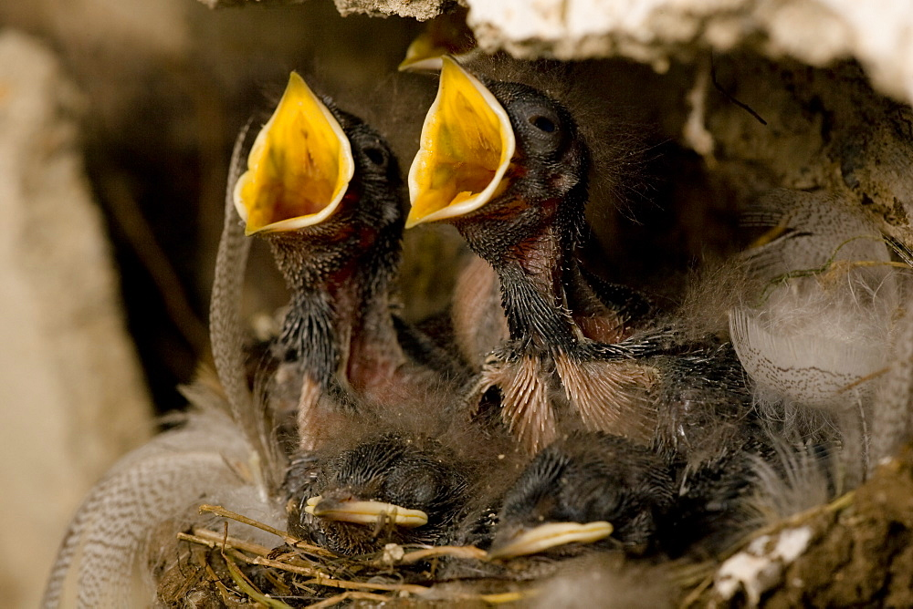 Swallow (Hirundo rustica) chicks in nest, begging for food. Loch Awe, nr Oban, Scotland, UK - 995-625