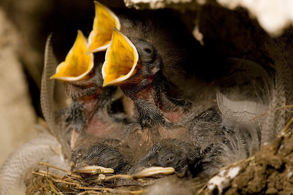 Swallow (Hirundo rustica) chicks in nest, begging for food. Loch Awe, nr Oban, Scotland, UK - 995-626