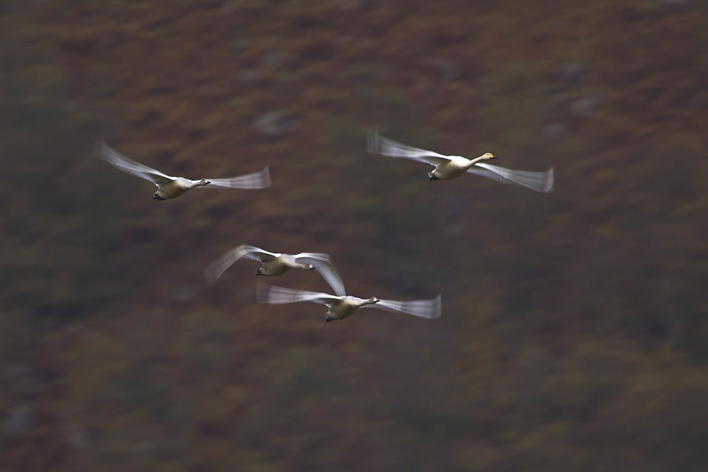 Whooper Swan (Cygnus cygnus) on an early morning flight, slow shutter speed capturing a circular flight around the valley floor. Shot shows valley walls in the background , Scotland