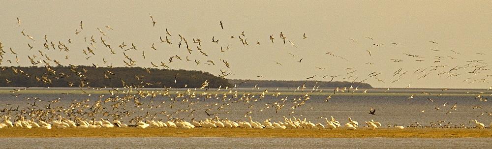 Pelican Strand, Elecanus erythrorhynchos; White Pelican; Pelican; Everglades, Florida - 1065-46