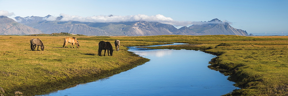 Icelandic horses with Vestrahorn behind, Iceland, Polar Regions