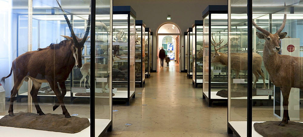 Senckenberg-Museum, view into the large mammal hall, Frankfurt am Main, Hesse, Germany, Europe