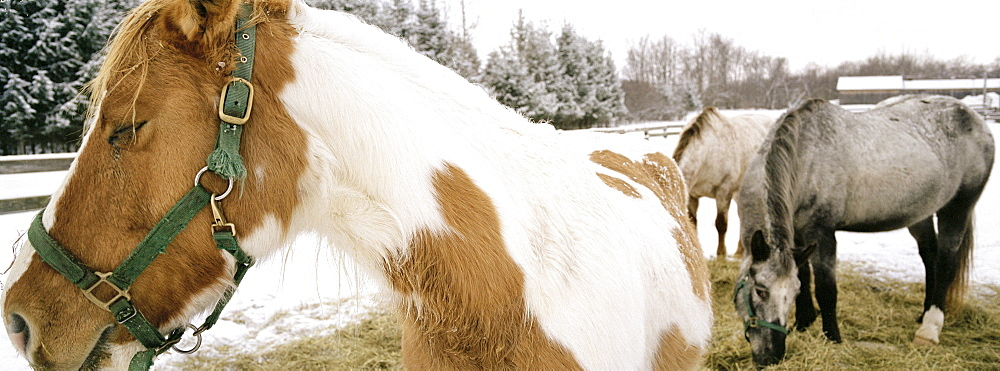 Horses in a Snow Filled Corral