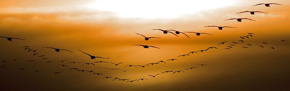 Flock of Geese Flying into Sunset, Saskatoon, Saskatchewan