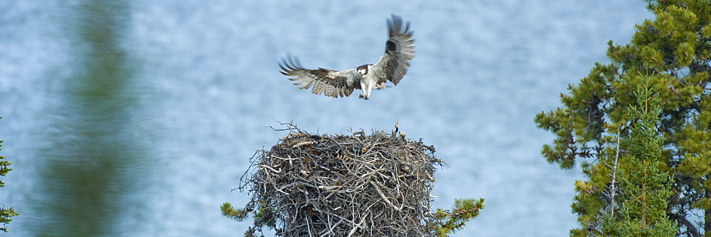 Osprey mother flying to nest and chicks, Atlin Lake Provincial Park, Northern British Columbia