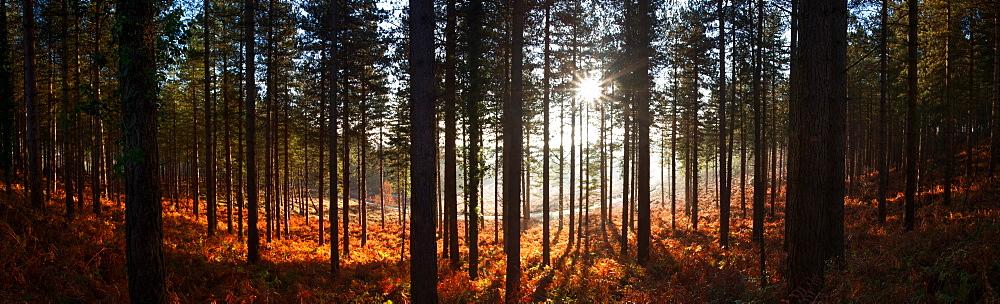 Moreton Forest, Dorset, England, United Kingdom, Europe