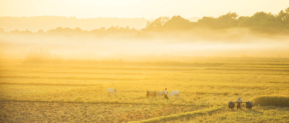 Farmers working the fields with oxen in rural Myanmar near Naypyitaw, Myanmar (Burma), Asia
