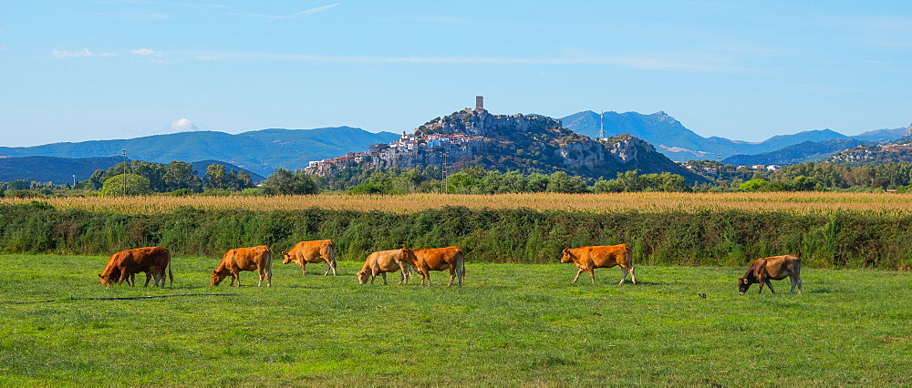 Cattle in field in Posada, Nuoro, Sardinia, Italy, Europe