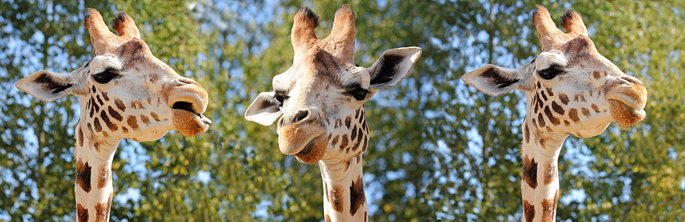 Species of giraffe has nine subspecies, in captivity, United Kingdom, Europe - 64-1394