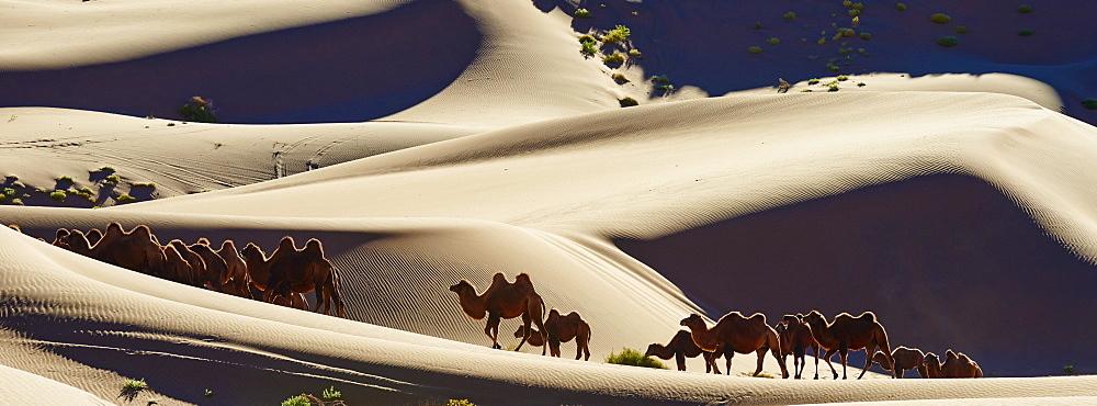 China, Inner Mongolia, Badain Jaran desert, Gobi desert, bactriane camels - 712-2946