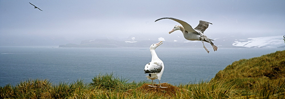 Pair of wandering albatross (Diomedia exulans), Albatross Island, Bay of Isles, South Georgia, South Atlantic, Polar Regions