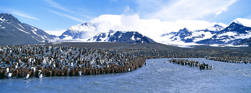 Colony of king penguins (Aptenodytes patagonicus) at mouth of glacial meltwater stream, St. Andrews Bay, South Georgia, South America