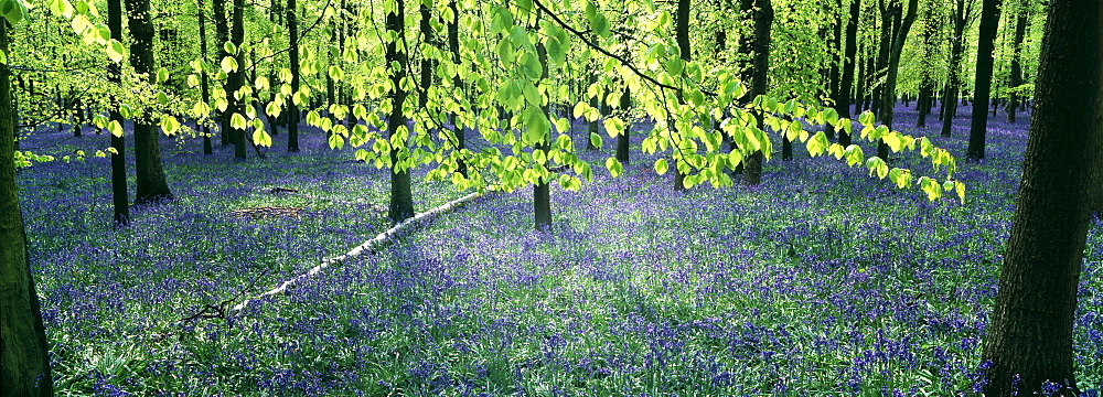 Bluebells and beech woodland in April, Buckinghamshire, England, United Kingdom, Europe - 738-160