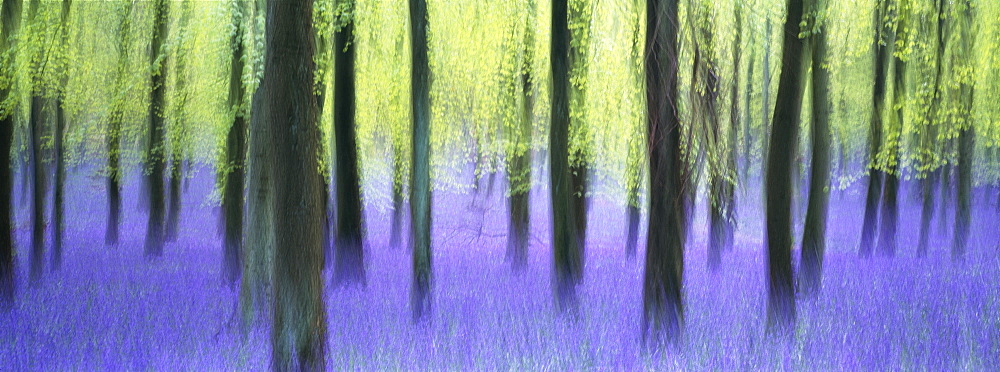 Bluebells and beech woodland in April, Buckinghamshire, England, United Kingdom, Europe
