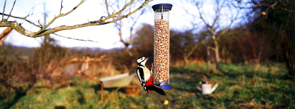 Great spotted woodpecker (Dendrocopos major), on nut feeder in garden, Kent, England, United Kingdom, Europe