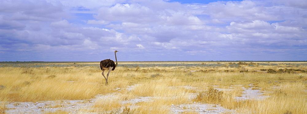 Ostrich, Etosha National Park, Namibia, Africa