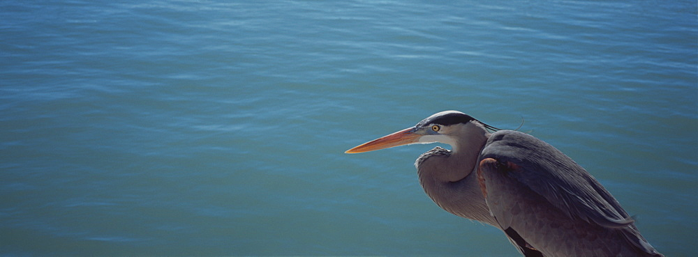 High angle view of a Great blue heron looking over water (Ardea herodias)