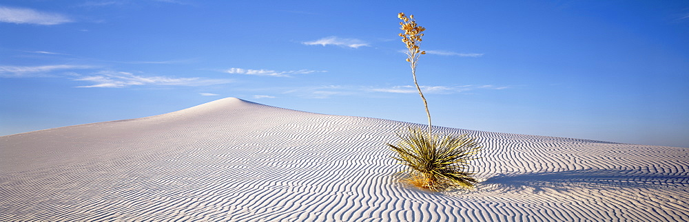 USA, New Mexico, White Sands National Monument, Soaptree Yucca