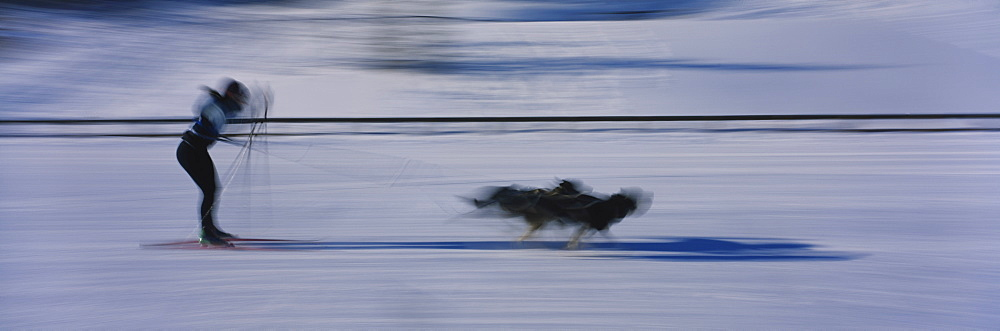Dogs pulling a skier on snow, Canmore Nordic Center, Canmore, Alberta, Canada