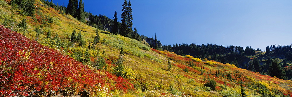 Bushes and trees on a mountainside, Mt Rainier National Park, Washington State, USA - 752-1695