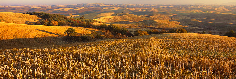 Wheat field on a landscape, Palouse Region, Whitman County, Washington State, USA - 752-1766