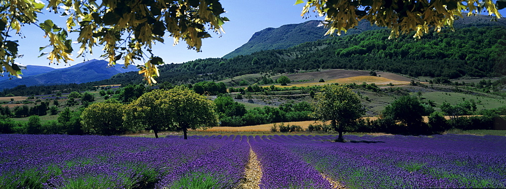 Mountain behind a lavender field, Provence, France - 752-1776