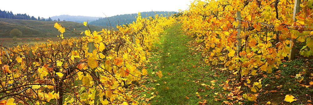 Vineyard on a landscape, Benton County, Oregon, USA - 752-1793