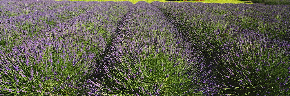 Field of lavender, Jardin Du Soleil, Sequim, Clallam County, Washington State, USA - 752-1799
