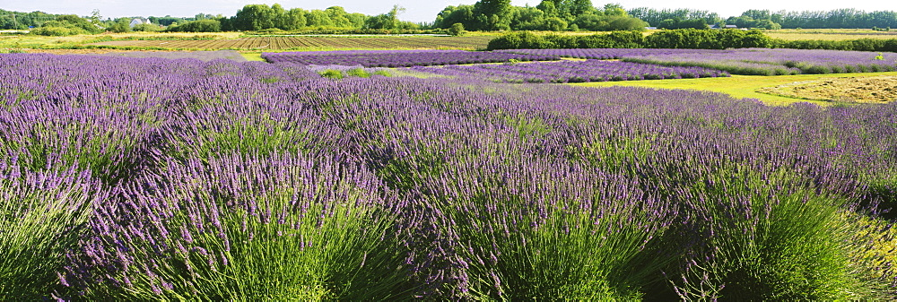 Field of lavender, Jardin Du Soleil, Sequim, Clallam County, Washington State, USA - 752-1800