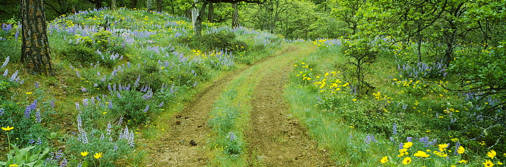 Tire tracks on a field, Lupine, Arrowleaf Balsamroot, Oregon, USA - 752-1805