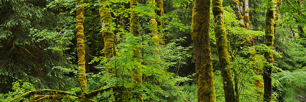 Trees in a forest, Olympic National Park, Washington State, USA - 752-1853