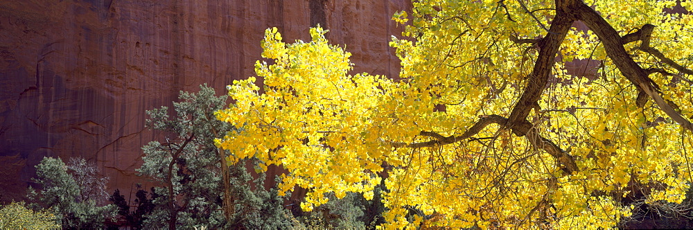 Backlit Cottonwood near Capitol Reef National Park, UT, USA - 752-1867
