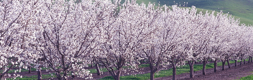 Almond Orchard CA