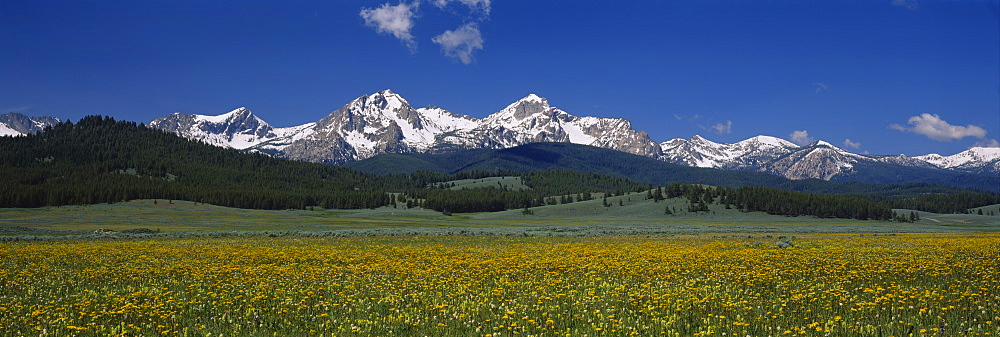 Flowers in a field, Sawtooth National Recreation Area, Stanley, Idaho, USA