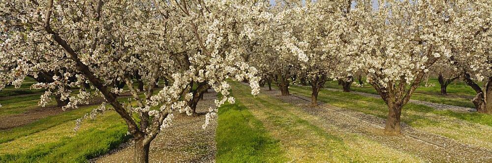 Almond trees in a row, Sacramento, California, USA