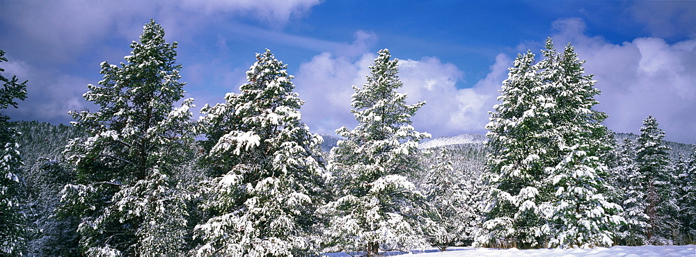 Low angle view of ponderosa pine trees covered with snow, Helena National Forest, Montana, USA