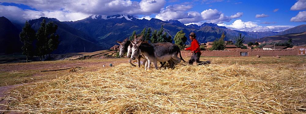 A farmer using his donkey team to thresh barley on his farm near Maras on plateau above the Urubamba River, north of Cuzco, Highlands, Peru