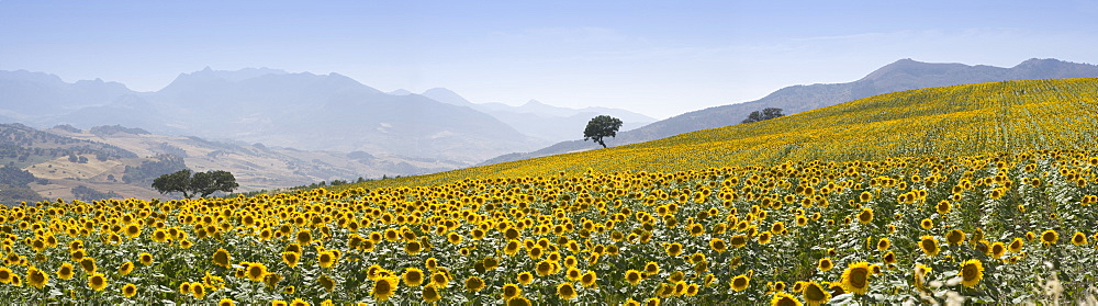 Sunflowers, near Ronda, Andalucia (Andalusia), Spain, Europe - 791-1