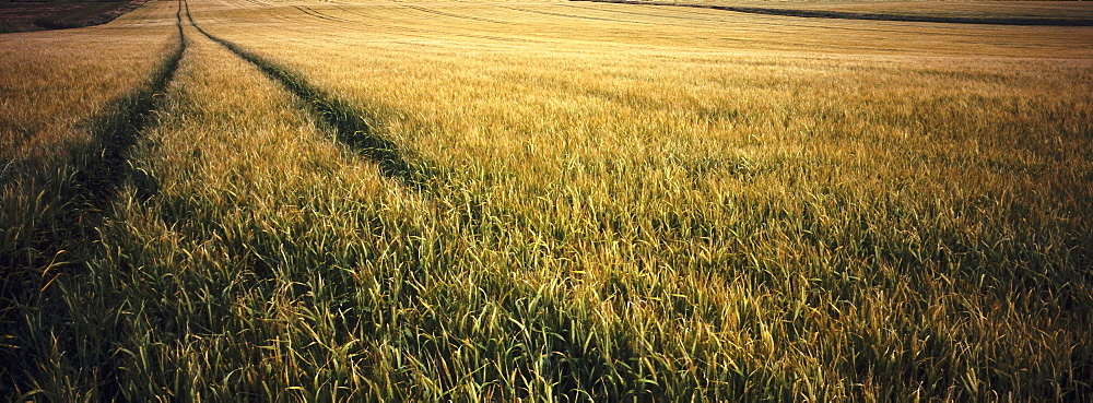 Agricultire, Farming, Combine harvester tracks through wheatfield, highlands, Scotland. - 797-12887